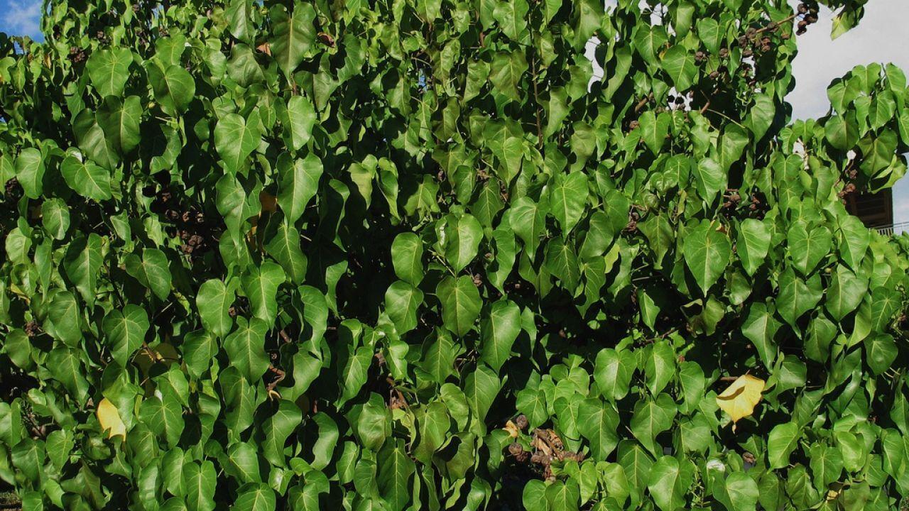 طريقة زراعة الملوخية
