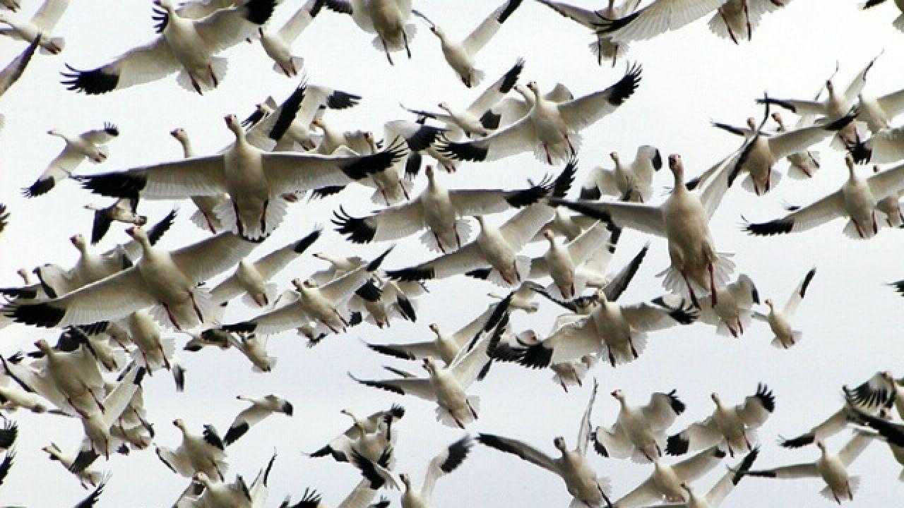 بحث عن هجرة الطيور