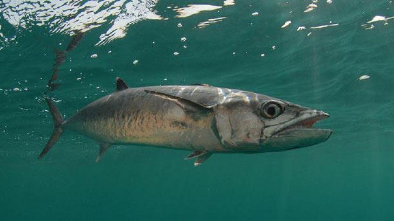 أنواع السمك في السعودية