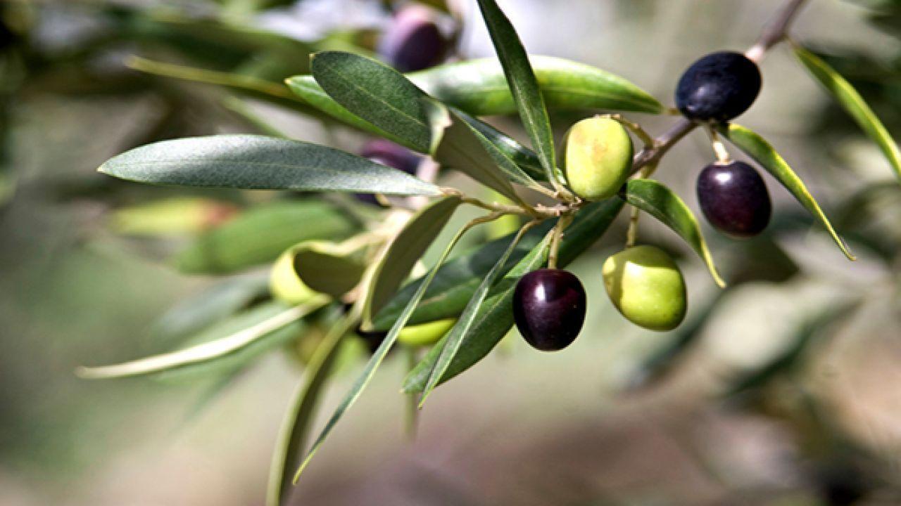 طرق زراعة بذور الزيتون