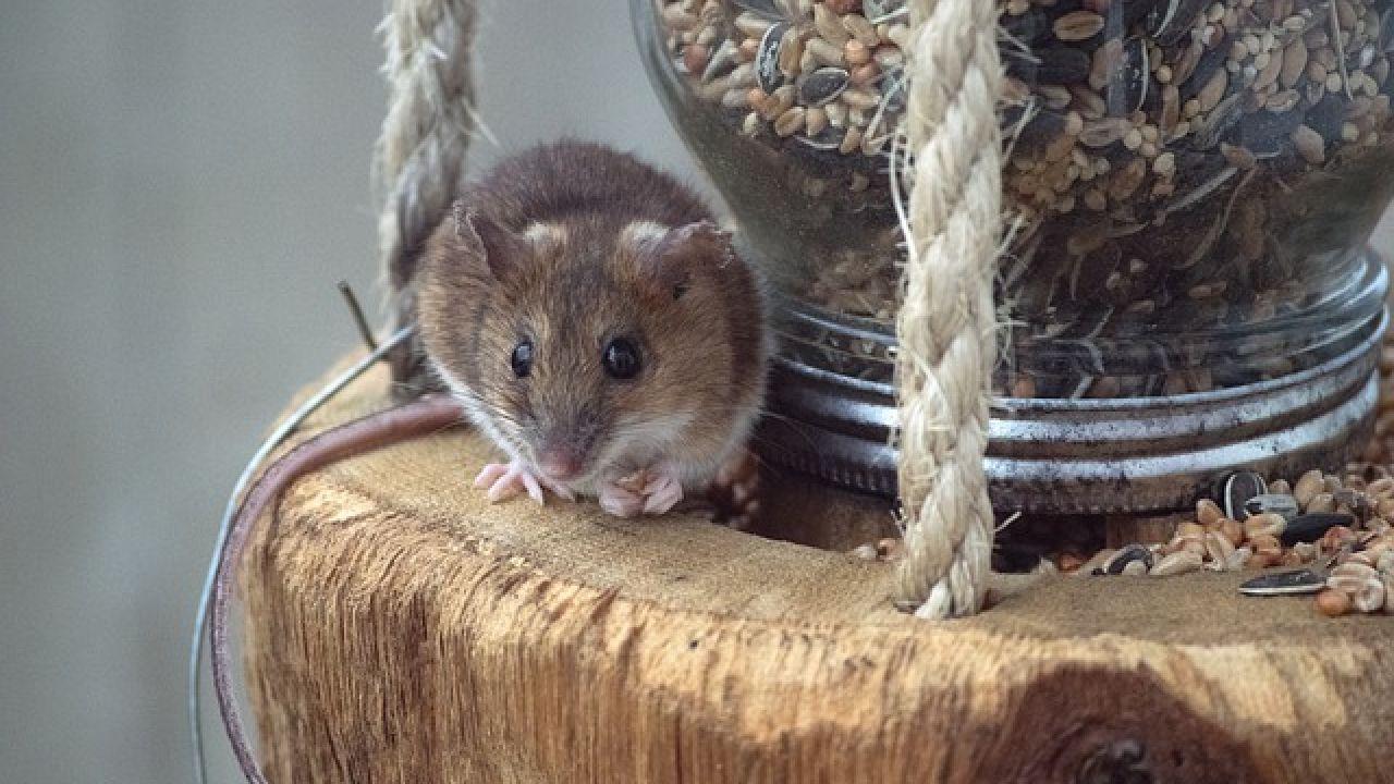 أسهل طريقة للقضاء على الفئران سم الفئران طب 21