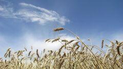 كيف تزرع القمح