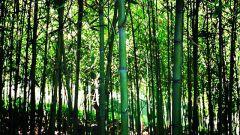 كيفية الاعتناء بنبات البامبو