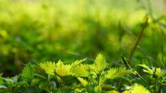 ما هو نبات القراص