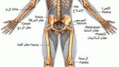 كم عدد العظام الموجودة في جسم الإنسان