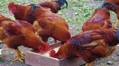 فوائد الدجاج البلدي