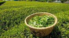طريقة استخدام الشاي الأخضر للتنحيف