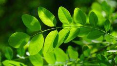 فوائد أوراق شجرة المورينجا