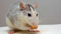أفضل حل لطرد الفئران