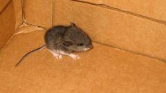 كيفية طرد الفأر من المنزل