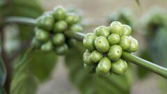 كيفية استعمال حبوب القهوة الخضراء للتنحيف
